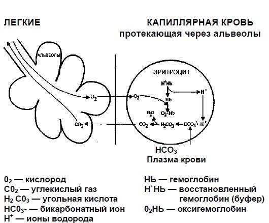 В легких бикарбонат снова превращается в С02 и выводится