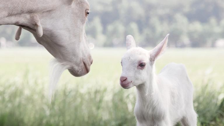 Смеси для кормления на козьем молоке
