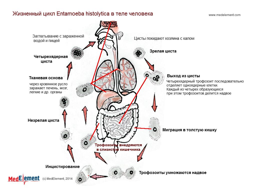 Жизненный цикл Entamoeba histolytica в теле человека