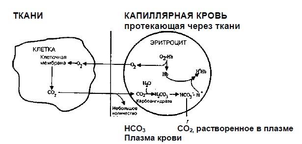Доставка 02 к тканям и первые стадии элиминации CO2